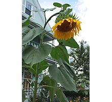 The last sunflower of the summer Photographic Print