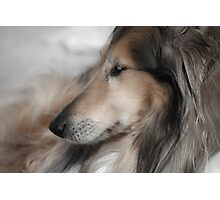 Daydreaming Collie Photographic Print