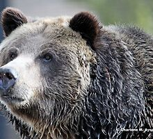 GRIZZLY PORTRAIT by Charlene Aycock