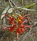 Wild Native Grevillea by Graeme  Hyde