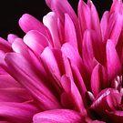 Purpur Dahlia by SmoothBreeze7