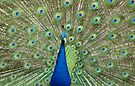 King Of The Peacocks by Leanne Allen
