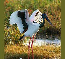 Jabiru (Policeman Bird) by jono johnson