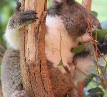 Koala by joannexx
