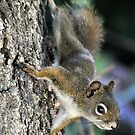 BACKYARD SQUIRREL by Raoul Madden
