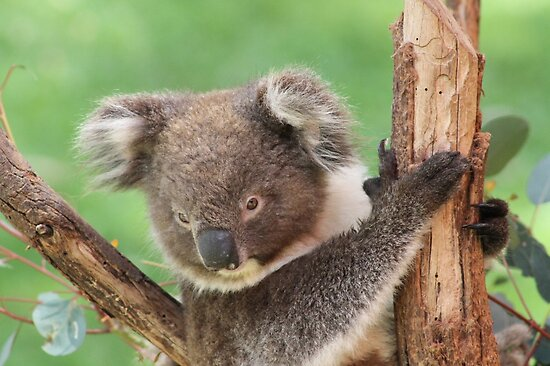 Koala in Spring by joannexx