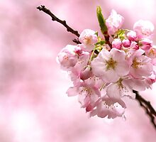 Cherry Blossom by Janice Chiu
