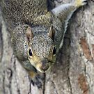 Curious gray squirrel by Mundy Hackett