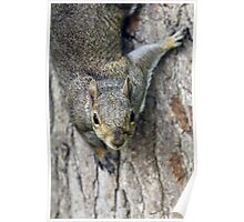 Curious gray squirrel Poster