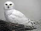 Snowy Owl by Carolyn  Fletcher