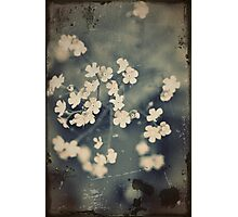 White Blossoms In Summer Photographic Print