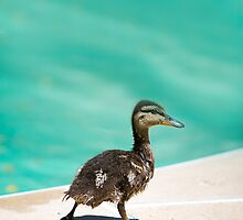 Baby Duck by mnathanielc