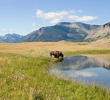 Bisons drinking from a pond. by Philippe Widling