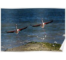 Two Greater Flamingoes (Phoenicopterus ruber) landing on surface of water Poster