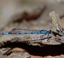 Common blue dragonfly by Fiona MacNab