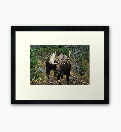 Bull moose in the woods Framed Print