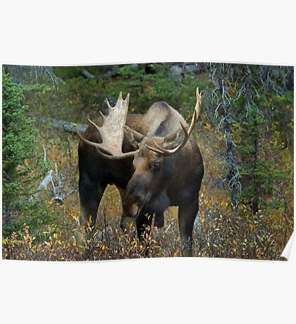 Bull moose in the woods Poster