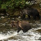 Grizzly Bears, Knight Inlet by SusanAdey