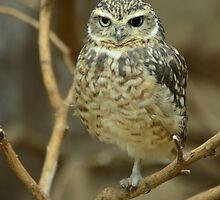 Burrowing Owl (Athene cunicularia) / Konijnenuiltje by Jacqueline van Zetten