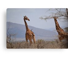 Reticulated Giraffes ~ Samburu National Park Canvas Print