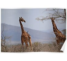 Reticulated Giraffes ~ Samburu National Park Poster