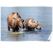 Cow Moose and her Calf Poster