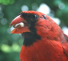 Northern Cardinal by G. David Chafin