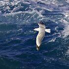Seagull midflight by Adrian Ross-New