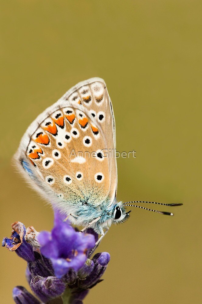 Common Blue by Anne Gilbert