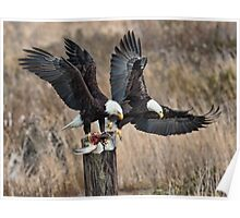 Bald Eagles With Prey Poster