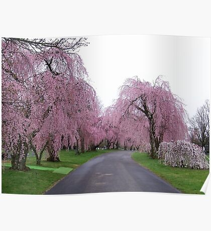 Weeping Cherry Trees in Bloom Poster