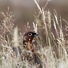 Grouse pose by Fiona MacNab