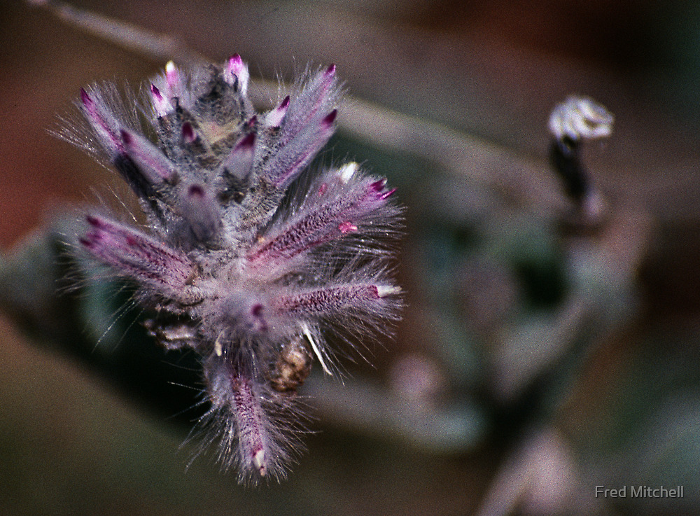 Close Up of plant in Valley of Wind Kata Tjuta 199808090038  by Fred Mitchell