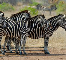 Herd of Burchell's Zebras (Equus burchelli), side view by Sami Sarkis