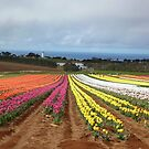 Field of Tulips by Glenn Bumford