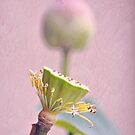 Phases of the Lotus by IngeHG