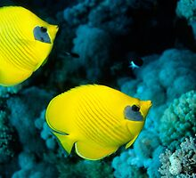 Two masked butterfly fish (Chaetodon semilarvatus) by Sami Sarkis