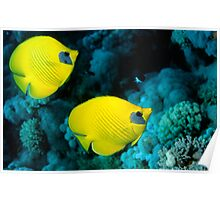Two masked butterfly fish (Chaetodon semilarvatus) Poster