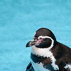  Magellanic Penguin by Vac1