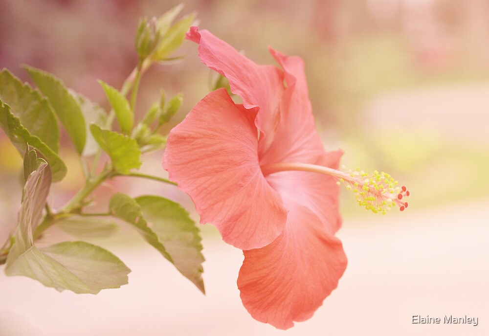 Hibiscus in Pastel by Elaine  Manley