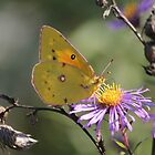 As The Sunsets On This Sulphur Butterfly In Oct.. by NewfieKeith