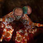 Mantis shrimp by davediver