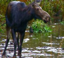 Maine Moose Cow in Fall by Judith Hayes