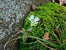 Starry Campion Wildflower - Silene stellata by MotherNature