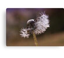 Fluffy dandelion drops Canvas Print