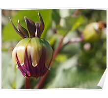 Dahlia Crown and Bud Poster