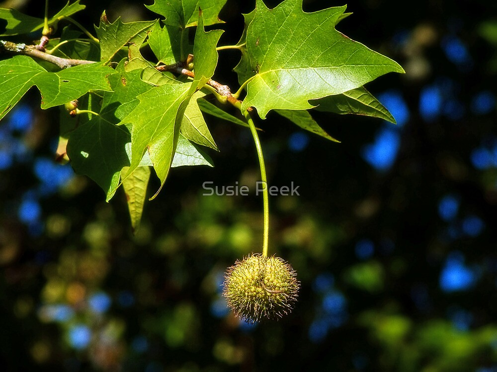 Horse-Chestnut  by Susie Peek