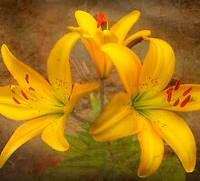 Lilium by Mark Richards