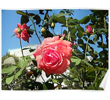 Jersey City, New Jersey, Rose Close-Up, Van Vorst Park  Poster