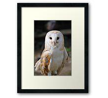 Barn Owl (Tyto Alba) Framed Print